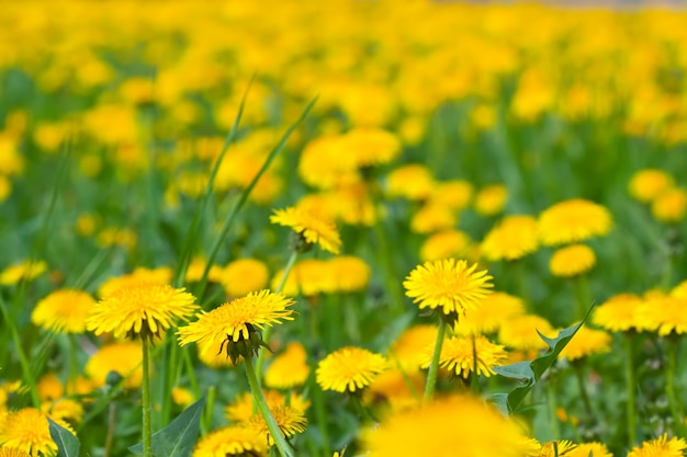 Close up of dandelion meadow