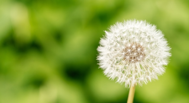 Close-up of dandelion on a natural green.