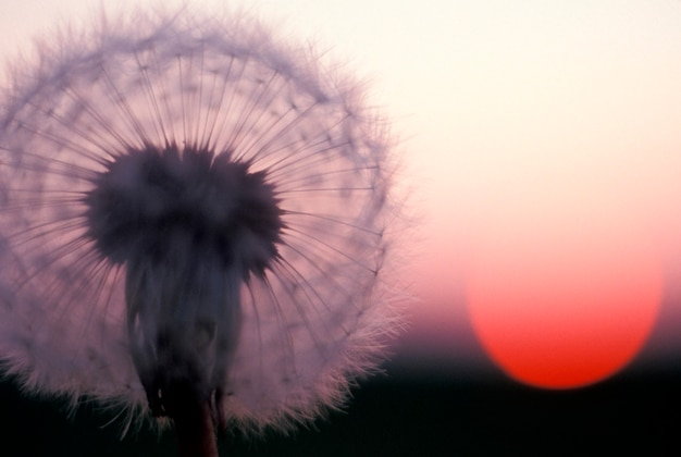 Close up of dandelion seed bloom with red sunset in background