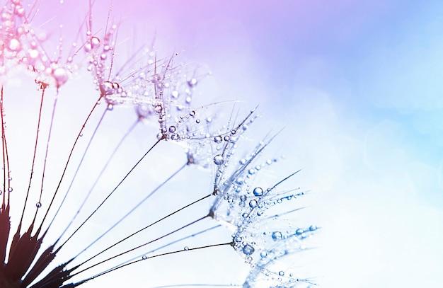 Семена одуванчика крупным планом в каплях росы. естественный фон
