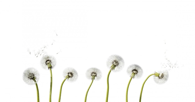 Close up of dandelion spores blowing away on white background