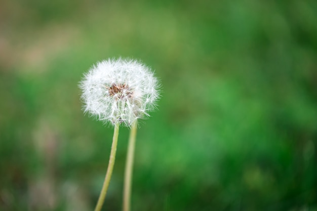 Close-up of a dandelion with white fluffy seeds on a green blurred background.