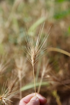 Close-up danger grass seeds for dogs on summer or spring concept