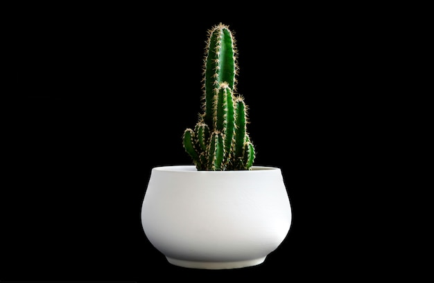 Close up dark green cactus plant on white pot isolated on black background