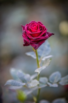 Close up of dark red rose black baccara in garden with green background