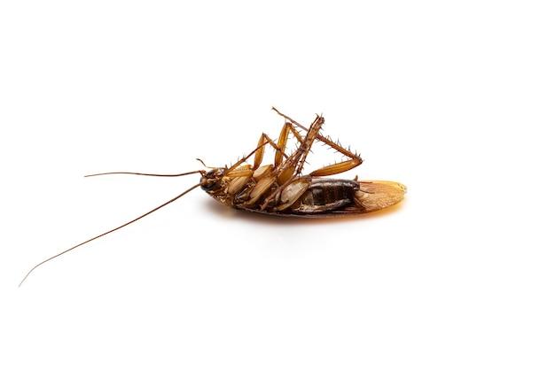 흰색 배경에 고립 된 죽은 바퀴벌레를 닫습니다.