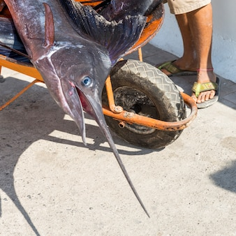 Close-up of dead swordfish in a wheelbarrel, ixtapa, zihuatanejo, guerrero, mexico