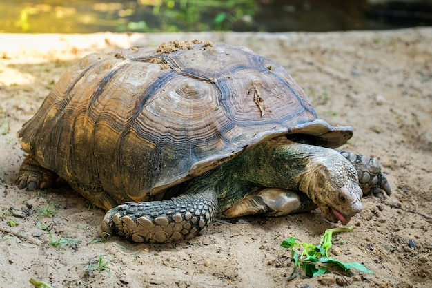 Close-up detail of a african spurred tortoise (centrochelys sulcata) feeding on vegetables in a meta