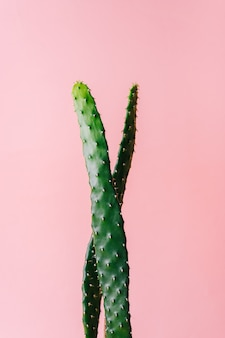 Close-up detail of flat and long green cactus on a pink background. minimal decoration plant on color background with copy space.