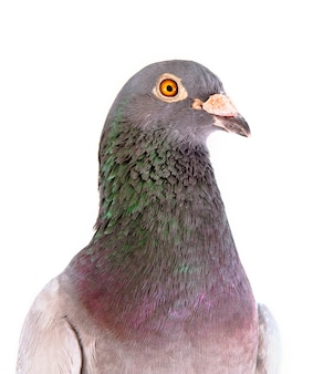 Close up detail headshot of male speed racing pigeon bird isolate white