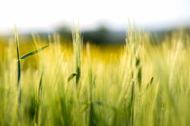 Закройте деталь головок зеленой пшеницы, растущей в сельскохозяйственном поле весной.