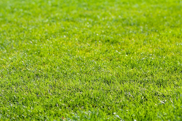 Close-up detailed scene of fresh green bright grass on sunny summer day. beautifully mowed lawn. nice rest area.