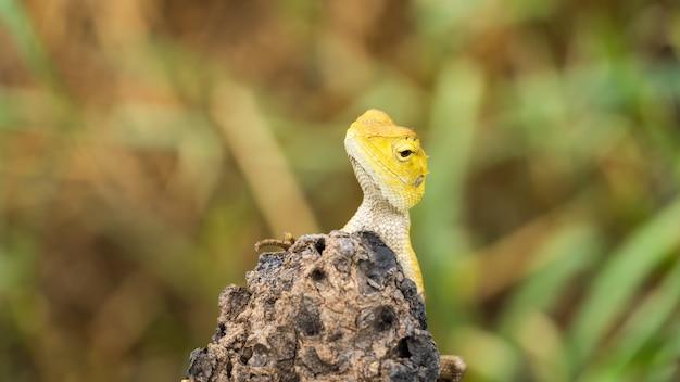 伝統的なタイのカメレオン、黄色の頭、両方の体の詳細