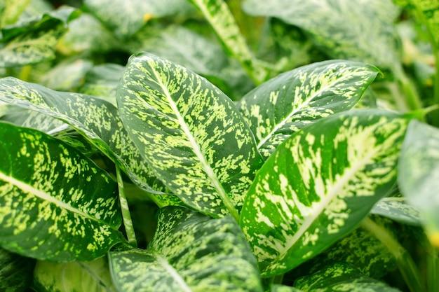 ディフェンバキアの葉、熱帯常緑植物をクローズアップ