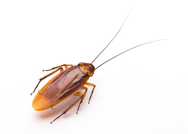 Close up of disgusting cockroach on white background