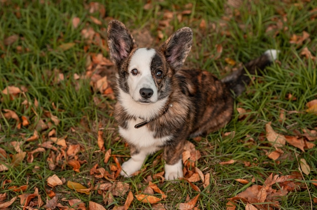 Заделывают собаку в осенних листьях