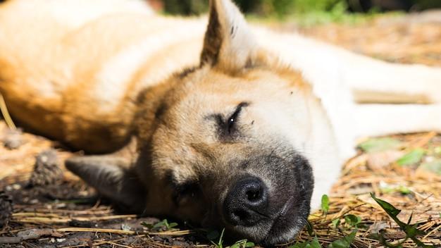 クローズアップ、森の中で横たわっている犬。シベリアの秋。