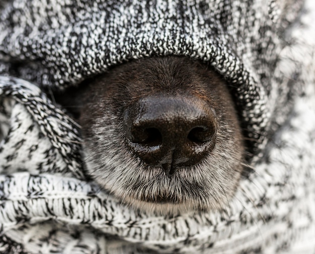 Close up dog nose with blanket