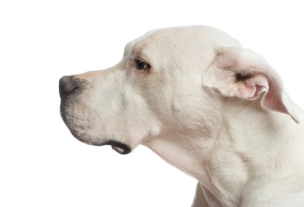 Close up of a dogo argentino looking away