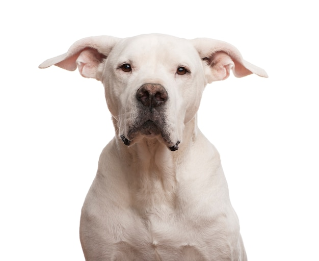 Close up of a dogo argentino looking at the camera