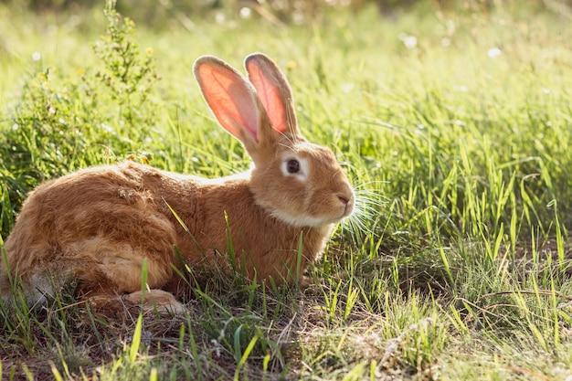 草の中のクローズアップ国内ウサギ