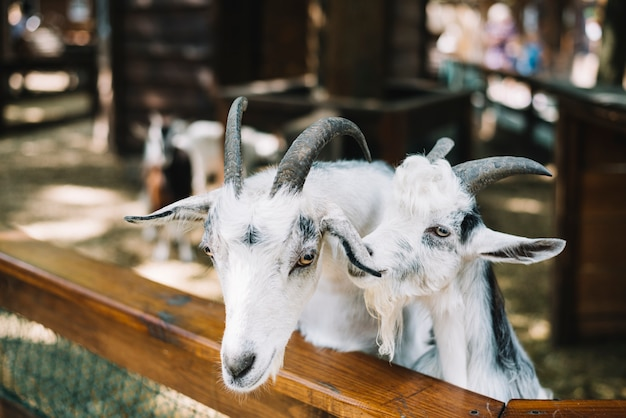 Close-up of domesticated white goats