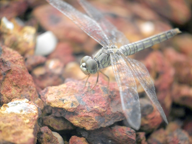 Close up a dragonfly on the rock