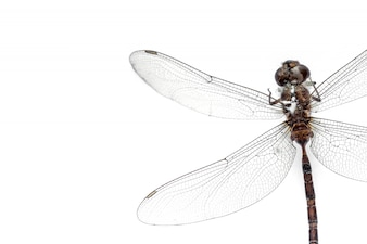 Close-up Dragonfly stuffed isolated on white background,top view