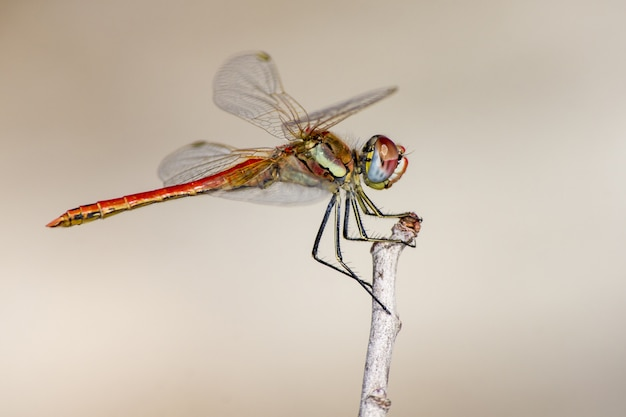 Close up of dragonfly on twig