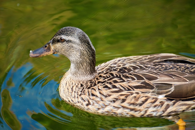 Close up of duck swimming in a green pond