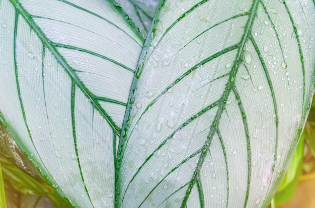 Close up dumb cane leaves or dieffenbachia, calathea- nature background, contrast pattern on leaves.