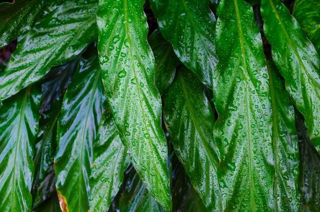 Close up dumb cane leaves or dieffenbachia, calathea- nature background.