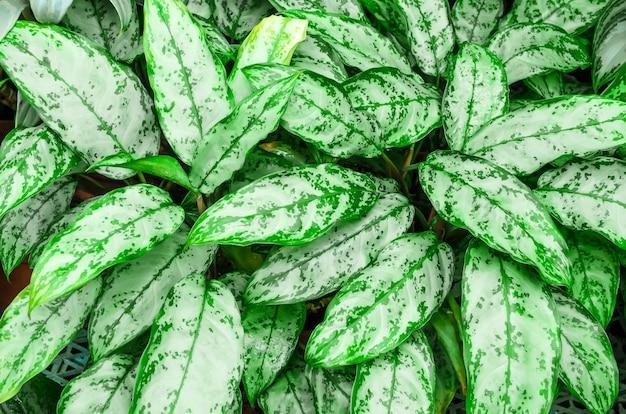 ディフェンバキアの葉またはカラテアの自然の背景であるディーフェンバッキアをクローズアップします。