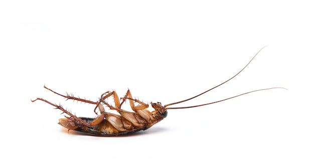 Крупным планом умирающий таракан, изолированные на белом фоне. Premium Фотографии
