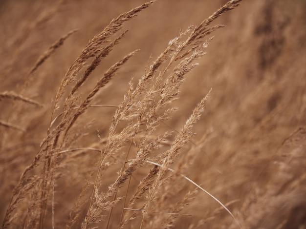 秋の牧草地の乾いた草のクローズアップ耳。背景がぼやけています。