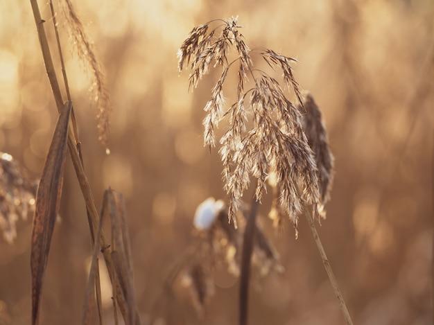 冬の牧草地の乾いた草のクローズアップ耳。背景がぼやけています。