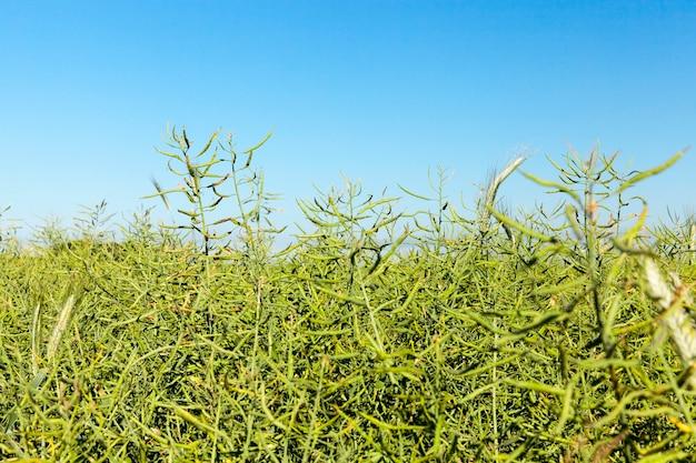 Крупным планом колосья незрелой зеленой пшеницы