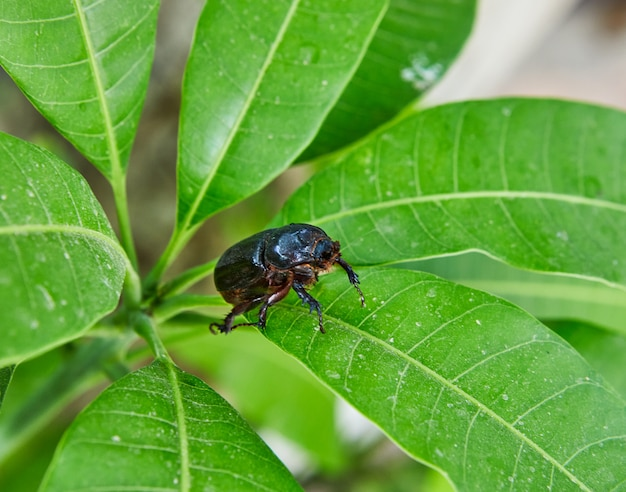 Close-up of an earthen dung beetle on green foliage on a bright sunny day