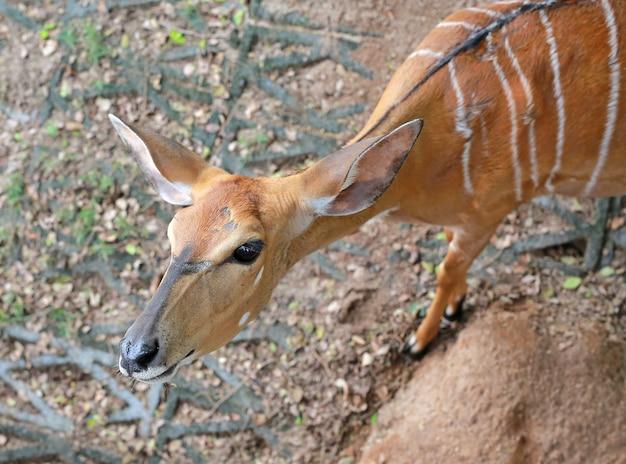 Close up eld's deer