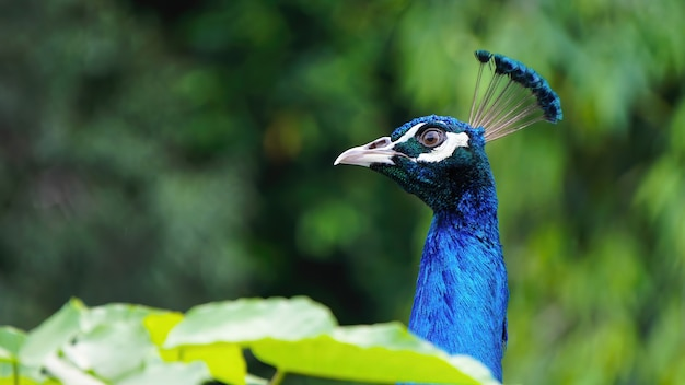 Close up of electric blue male peacock on a green background