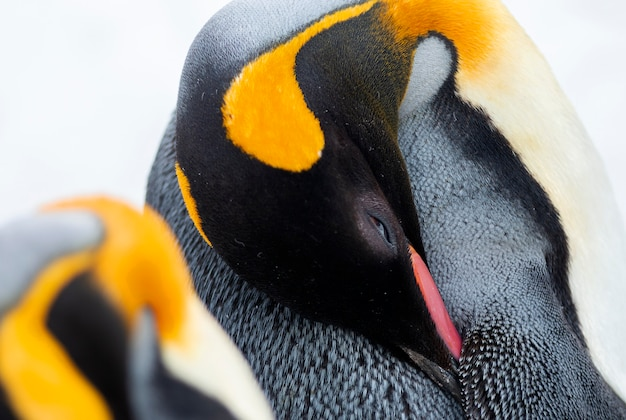 Close-up of an emperor penguin
