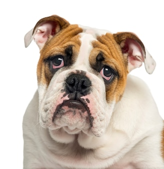 Close-up of an english bulldog puppy looking desperate, isolated on white