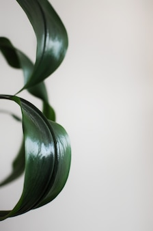 Close up of eucharis leaves minimal style design home plant with place for text