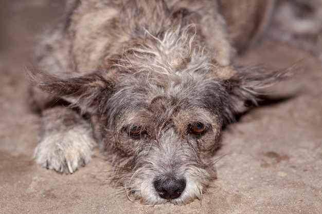 Close up eye on head gray and brown color thai dog is sad.