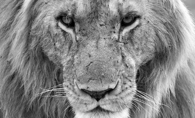 Close up on face of a big lion in nature
