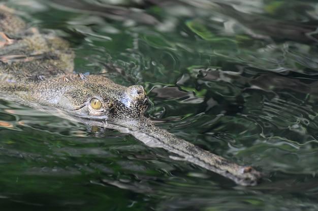 Primo piano del volto di un coccodrillo gaviale in un fiume