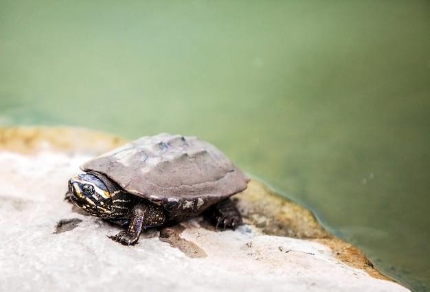 Закрыть лицо грязной черепахи на камне в месте купания