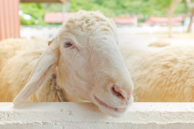 Закрыть лицо овец