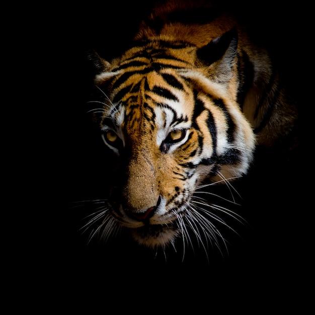 background macan tutul