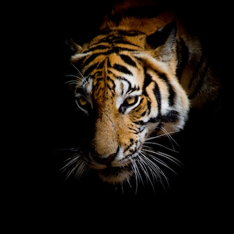 顔の虎を黒の背景に閉じて閉じます